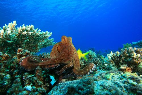 octopus in natural habitat